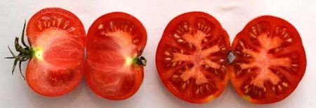 The tomato variety Varrone, bred by the Italian geneticist Nazareno Strampelli (1866-1942) sometime in the late 1910s.