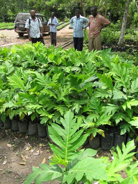 Samoan Breadfruit Comes To Ghana Agricultural Biodiversity Weblog