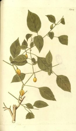 Original illustration of Capsicum chinense